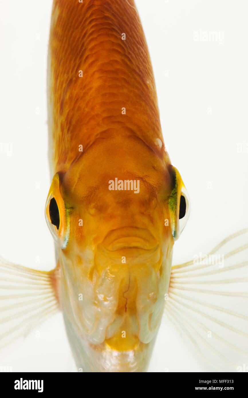 Fish Front View : front, Frontal, Golden, Freshwater, Angelfish, (Pterophyllum, Scalare)., Carnivorous, Tropical, Fish., Dist., Amazon, River, Basins, South, Stock, Photo, Alamy