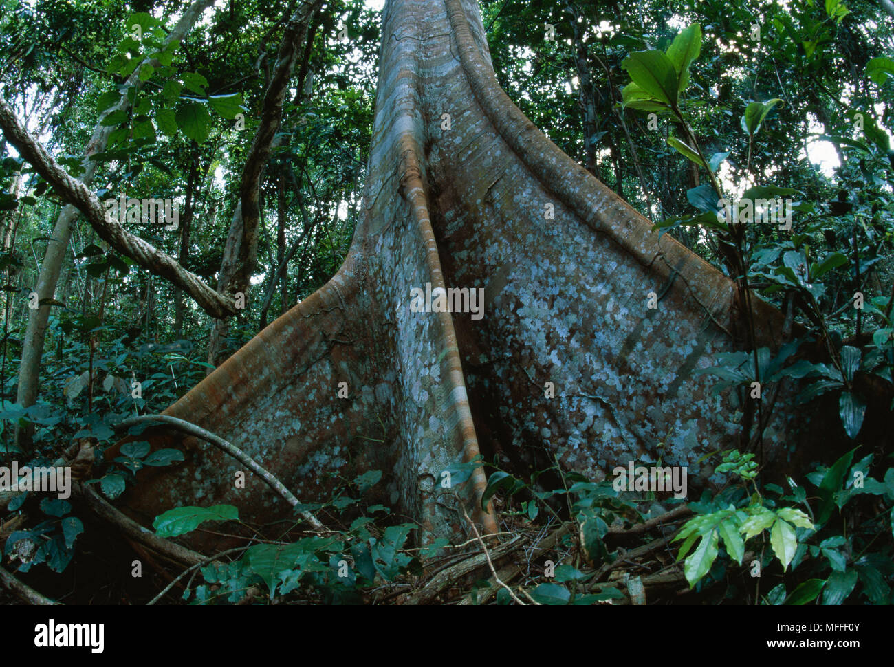 This species is found in any county around the world except antarctica. Tropical Rainforest Interior With Tree With Buttress Roots Western Congo Basin Moist Forest Canopy Gabon Stock Photo Alamy