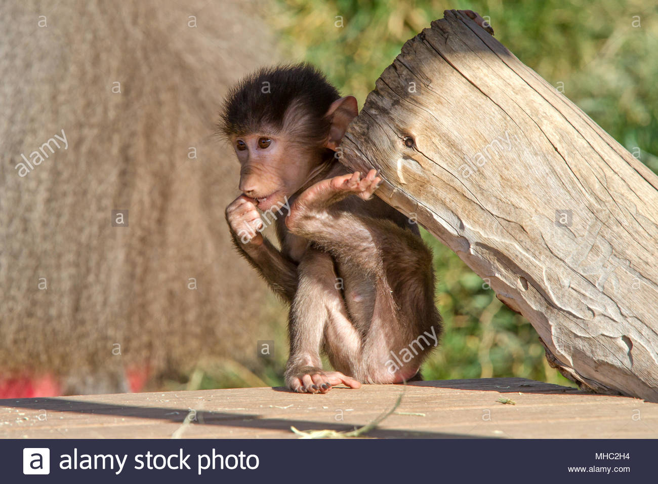baby baboon lifting weights