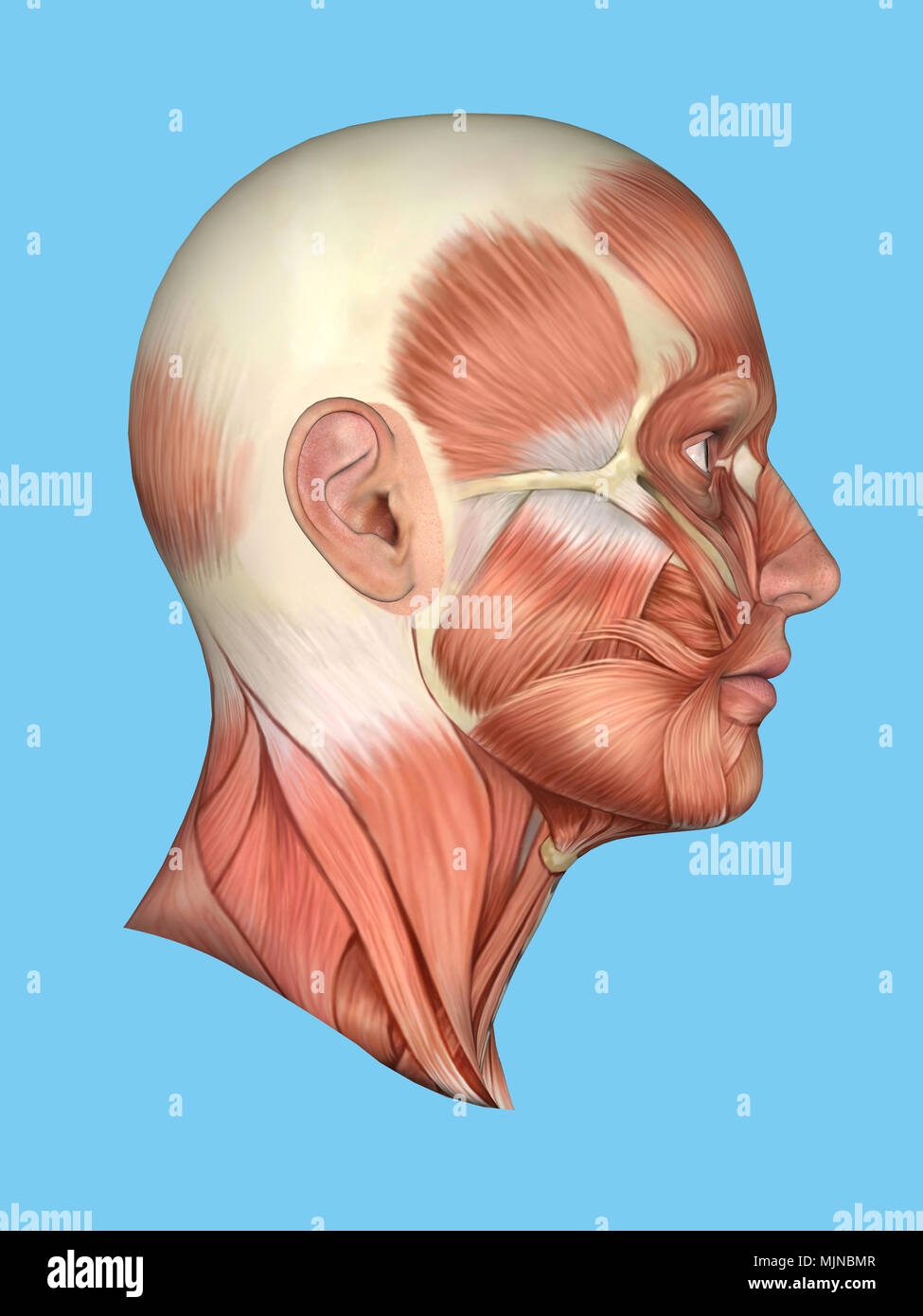 hight resolution of anatomy side view of face stock photo 183637687 alamy diagram of side of face