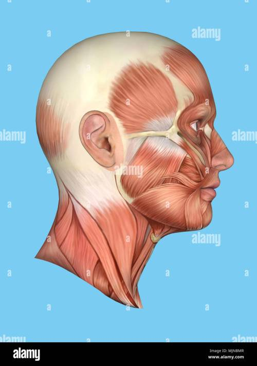 small resolution of anatomy side view of face stock photo 183637687 alamy diagram of side of face