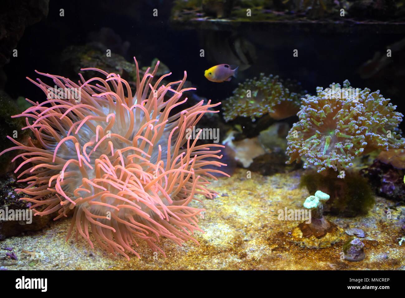 sea anemone wallpaper background