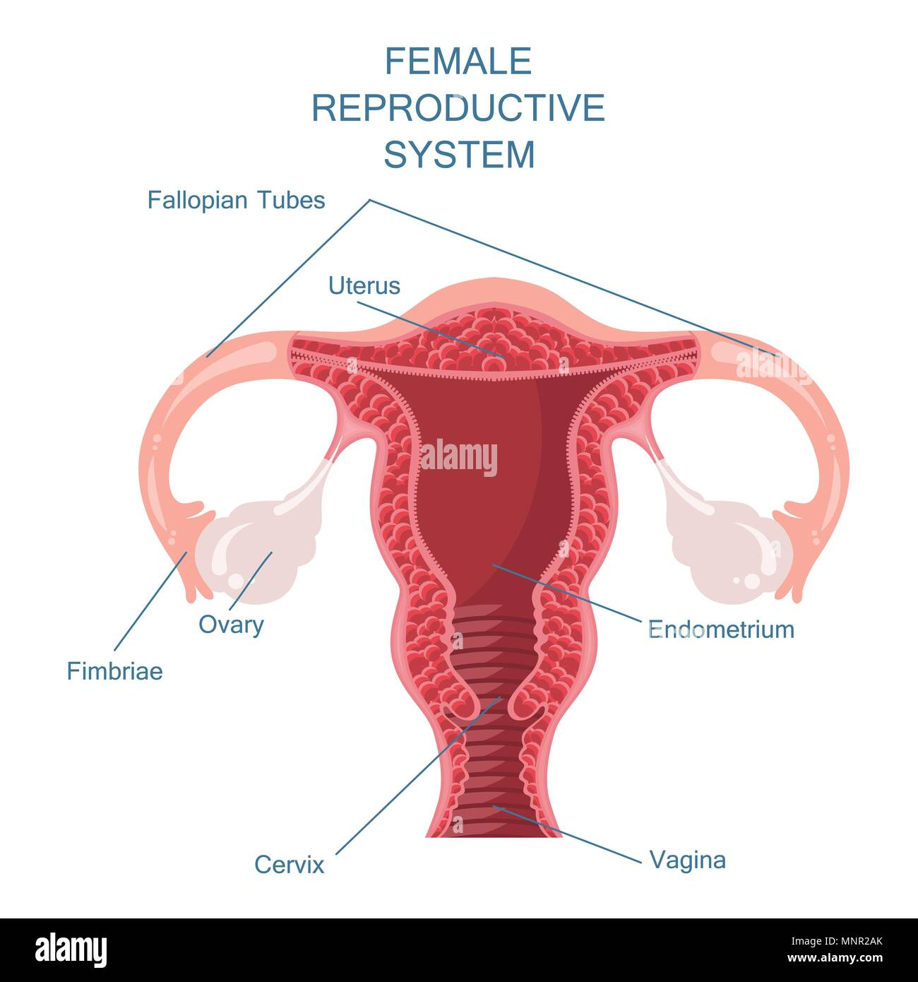 hight resolution of female reproductive system vector illustration stock image