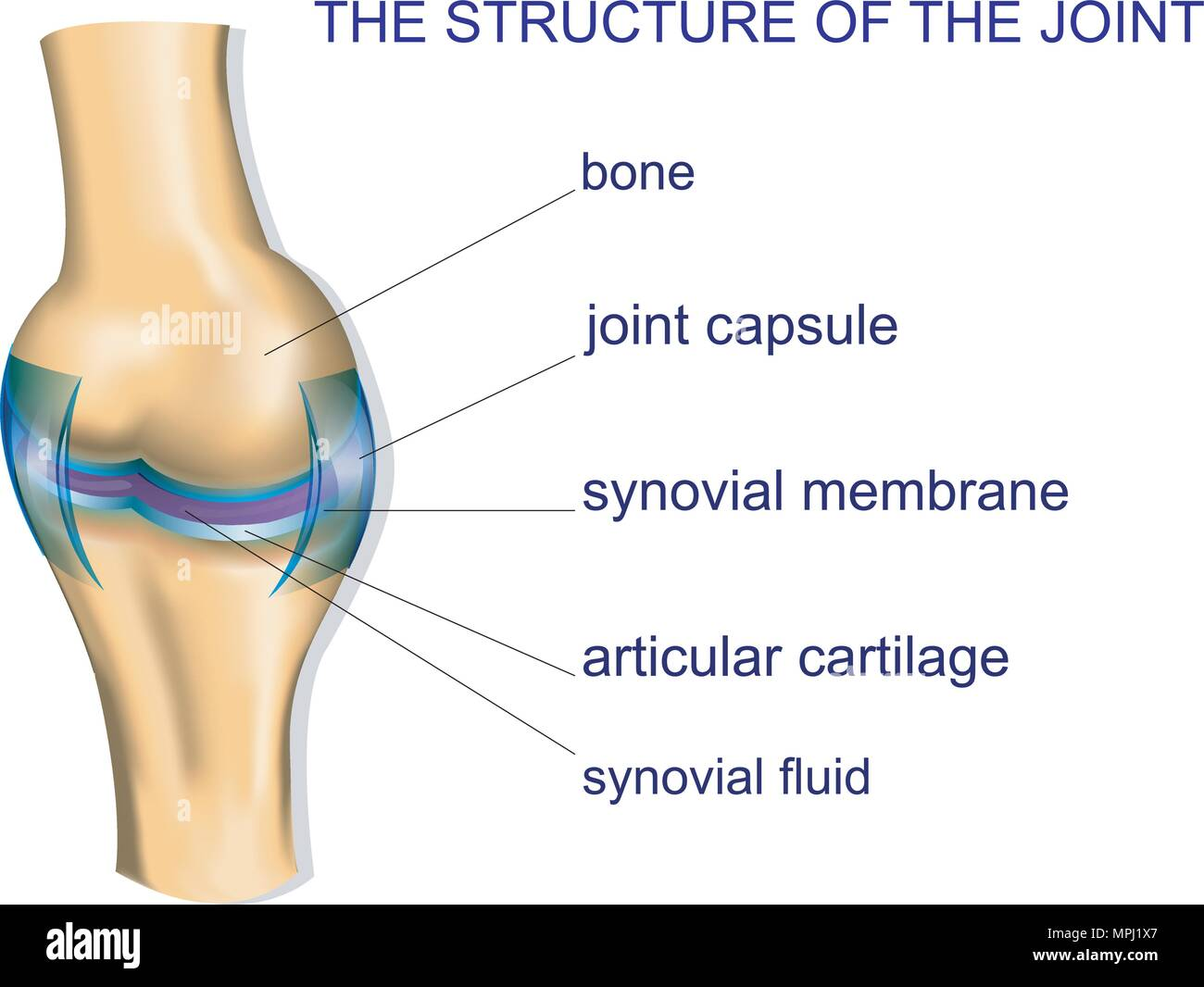 hight resolution of illustration of the joint anatomy bone vector stock image