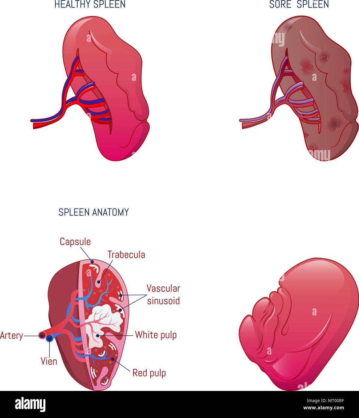 Spleen Anatomy Stock Photos Amp Spleen Anatomy Stock Images