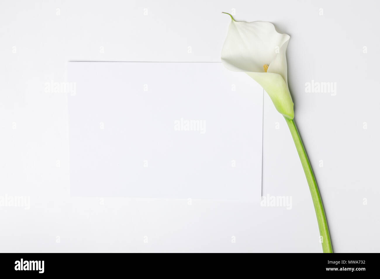 hight resolution of white calla flower with blank paper isolated on white stock image