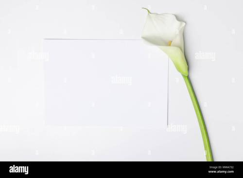 small resolution of white calla flower with blank paper isolated on white stock image