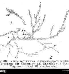 protonema of funaria hygrometrica 1900 e strasburger 200 funaria hygrometrica protonema strasburger1900  [ 1300 x 1259 Pixel ]