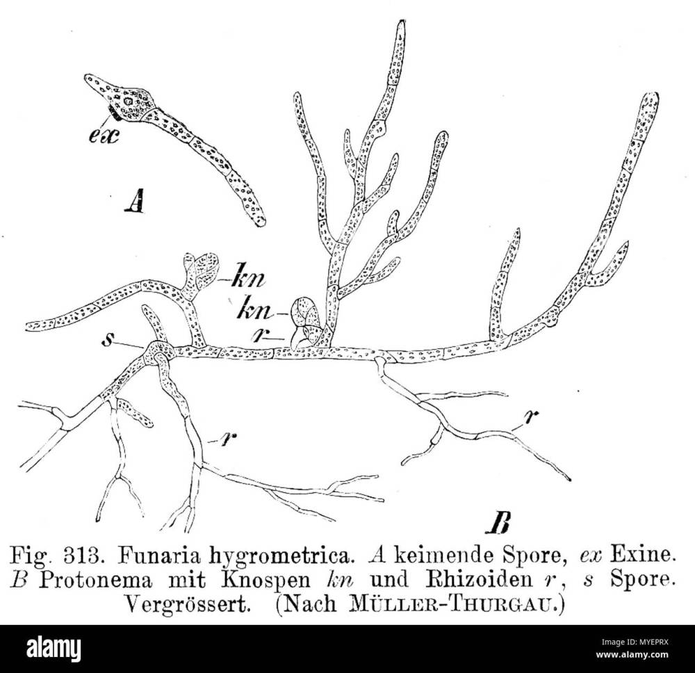 medium resolution of protonema of funaria hygrometrica 1900 e strasburger 200 funaria hygrometrica protonema strasburger1900