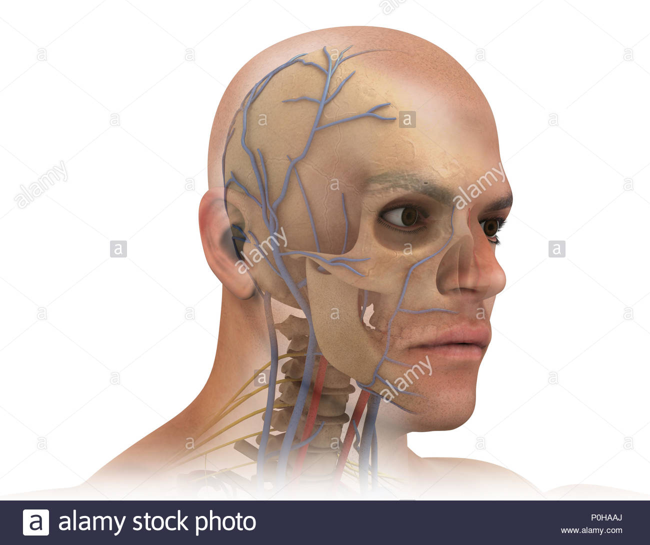 vintage red real heart diagram whirlpool bath wiring jugular vein stock photos & images - alamy