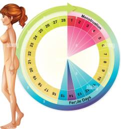 a vector of the menstrual cycle illustration stock image [ 1123 x 1390 Pixel ]