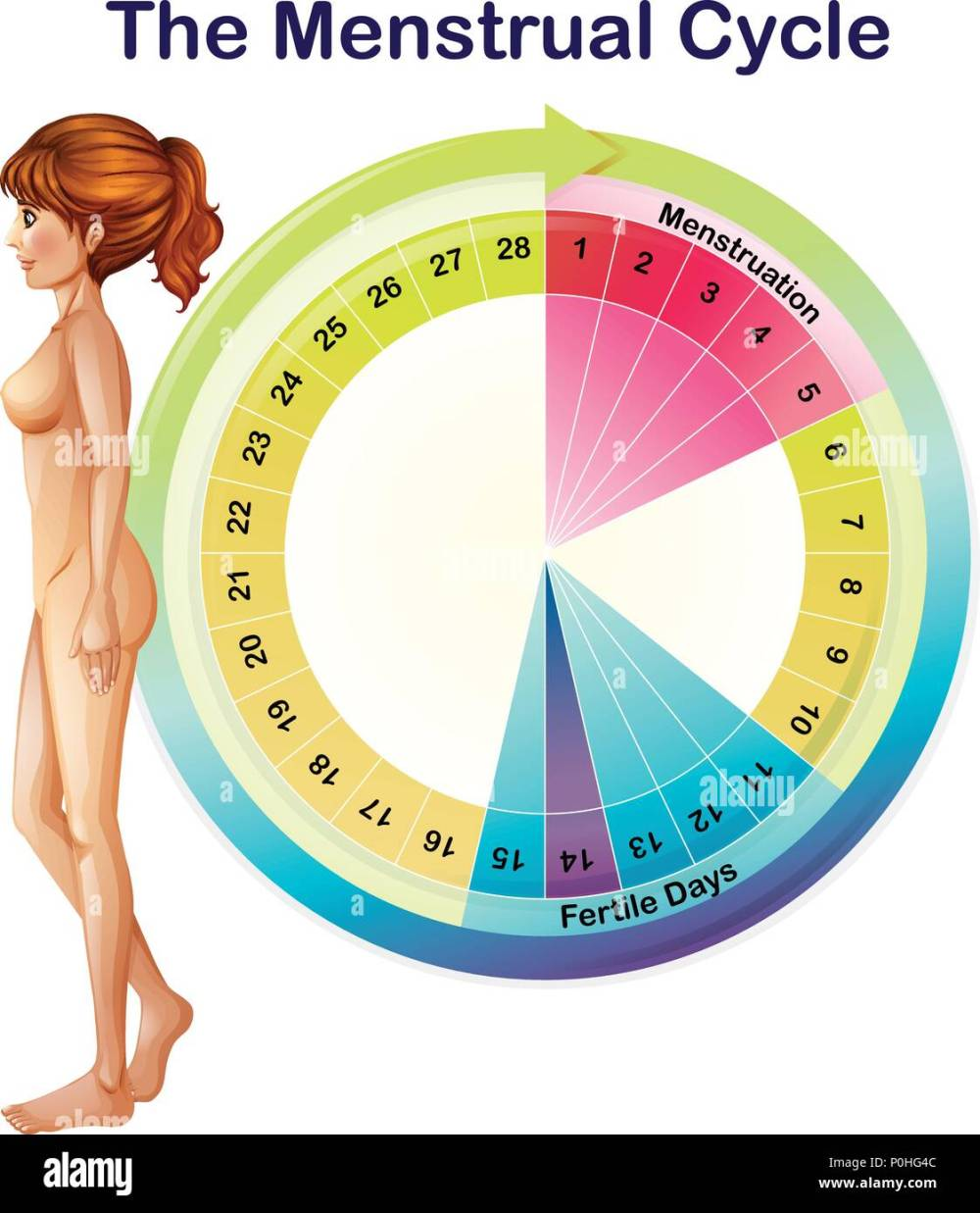 medium resolution of a vector of the menstrual cycle illustration stock image