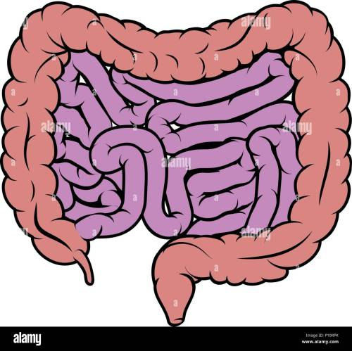 small resolution of intestine gut digestive system diagram stock image