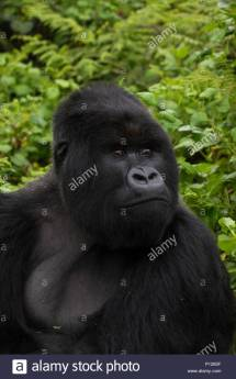 Dian Fossey Gorillas Stock &