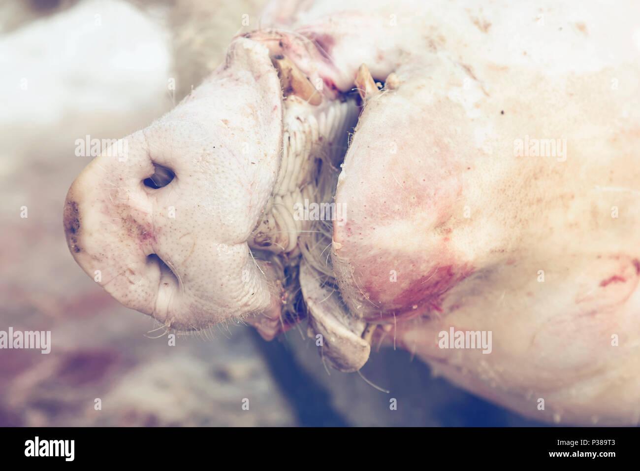 Butchering Slaughter Stock Photos Amp Butchering Slaughter
