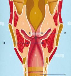respiratory system schematic drawing of the front section of the larynx 1 epiglottis 2 vocal folds above 3 vocal folds below 4 trachea drawing  [ 873 x 1390 Pixel ]