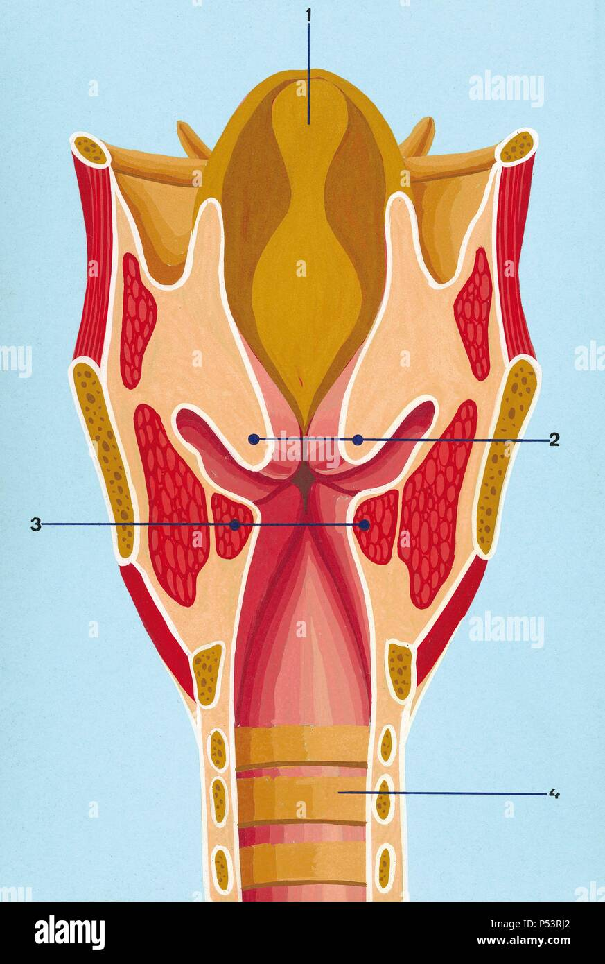 hight resolution of respiratory system schematic drawing of the front section of the larynx 1 epiglottis 2 vocal folds above 3 vocal folds below 4 trachea drawing