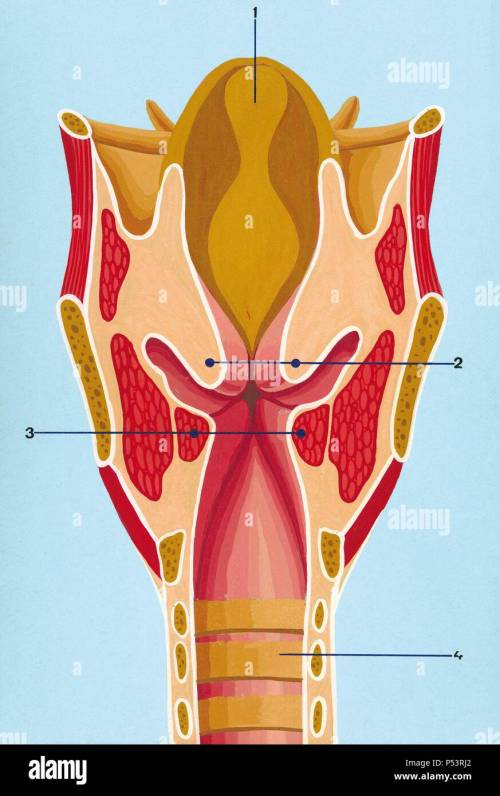 small resolution of respiratory system schematic drawing of the front section of the larynx 1 epiglottis 2 vocal folds above 3 vocal folds below 4 trachea drawing