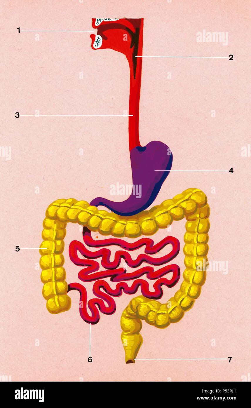 hight resolution of schematic drawing of the position occupied by the organs in the human body 1 mouth 2 pharynx 3 esophagus 4 stomach 5 large intestine 6