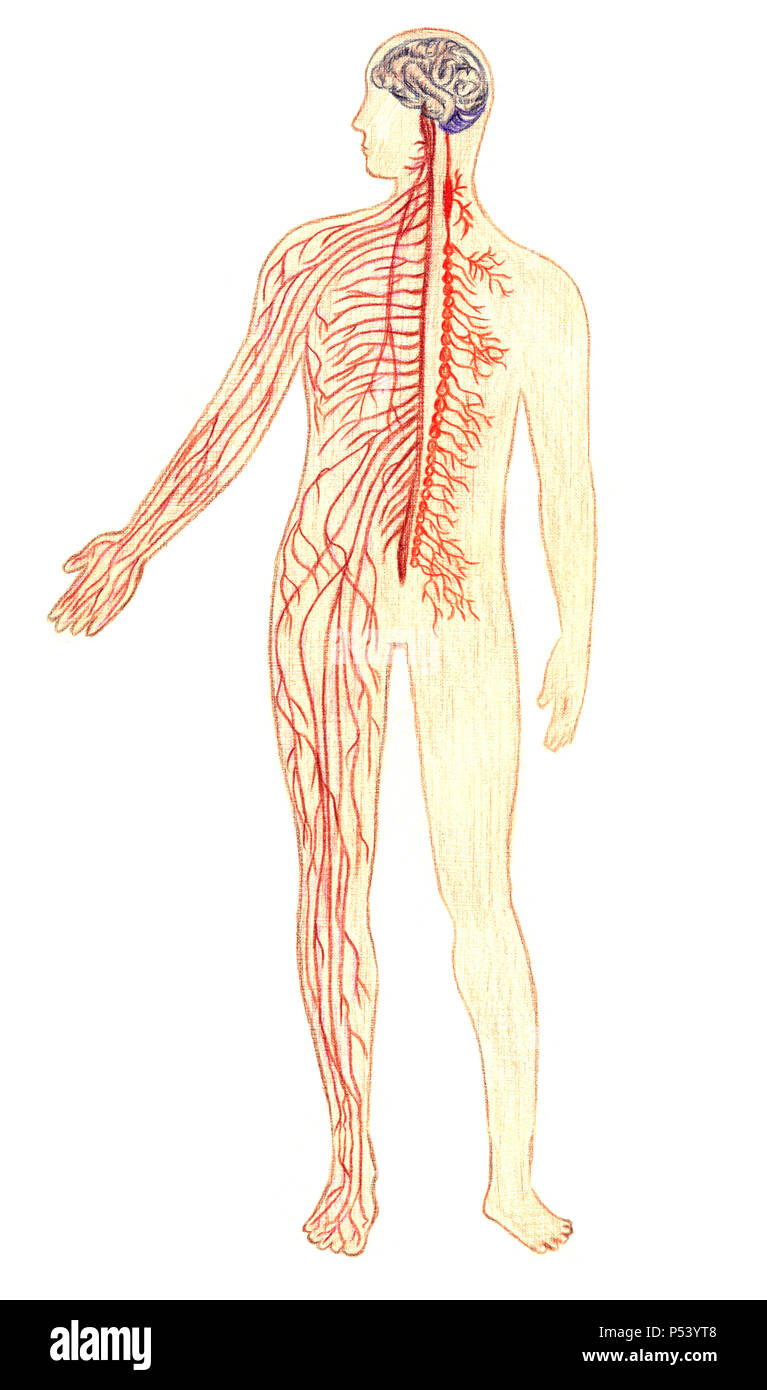 hight resolution of the human nervous system hand drawn medical illustration color pencils drawing with imitation of