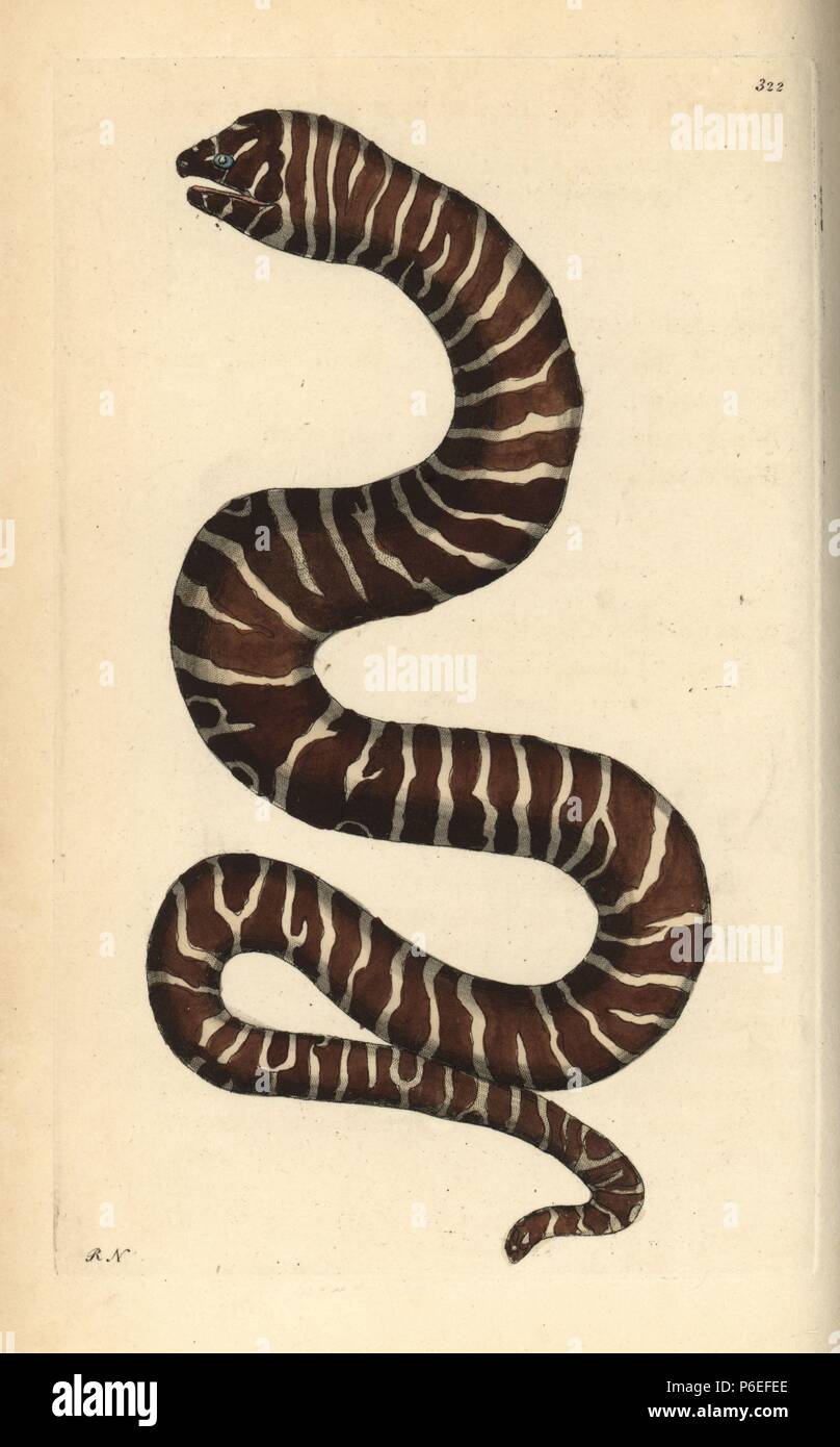 hight resolution of zebra moray eel gymnomuraena zebra illustration drawn and engraved by richard polydore nodder