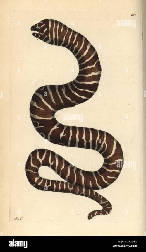 small resolution of zebra moray eel gymnomuraena zebra illustration drawn and engraved by richard polydore nodder