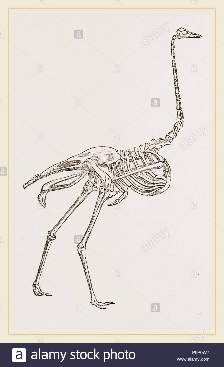 ostrich skeleton diagram switch and electrical outlet wiring of stock photo 210696003 alamy