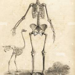 Ostrich Skeleton Diagram Honeywell Fan Human Female From The Front With By William Cheselden Copperplate Engraving Edward Mitchell After An Anatomical Illustration