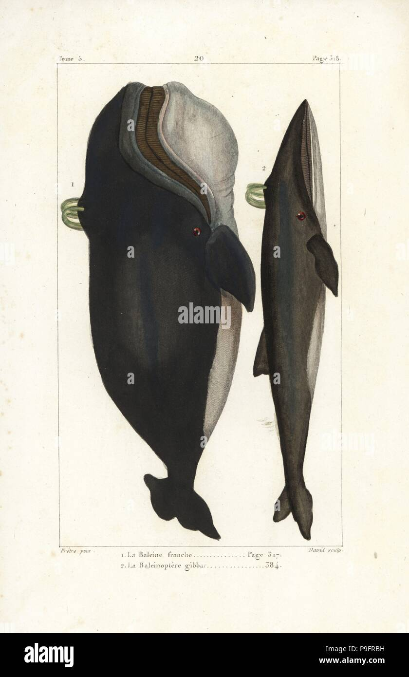 hight resolution of north atlantic right whale eubalaena glacialis endangered and blue whale or fin whale