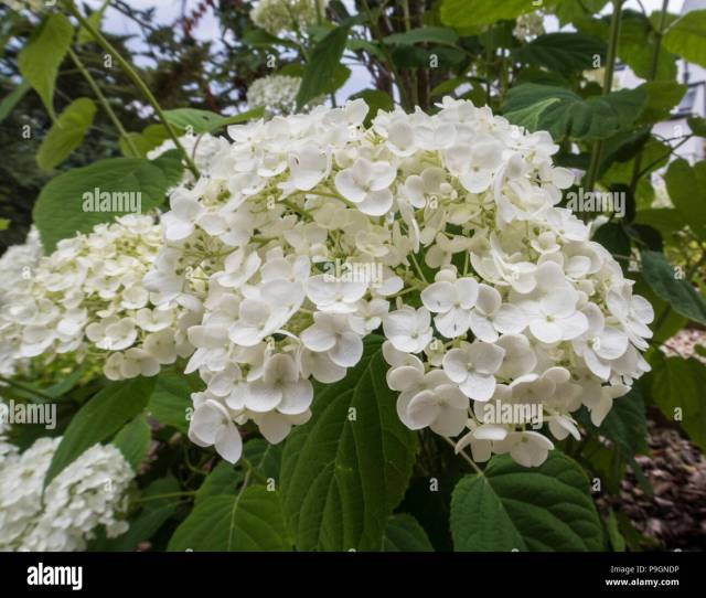 Hydrangea Strong Annabelle Large White Flowers Stock Image