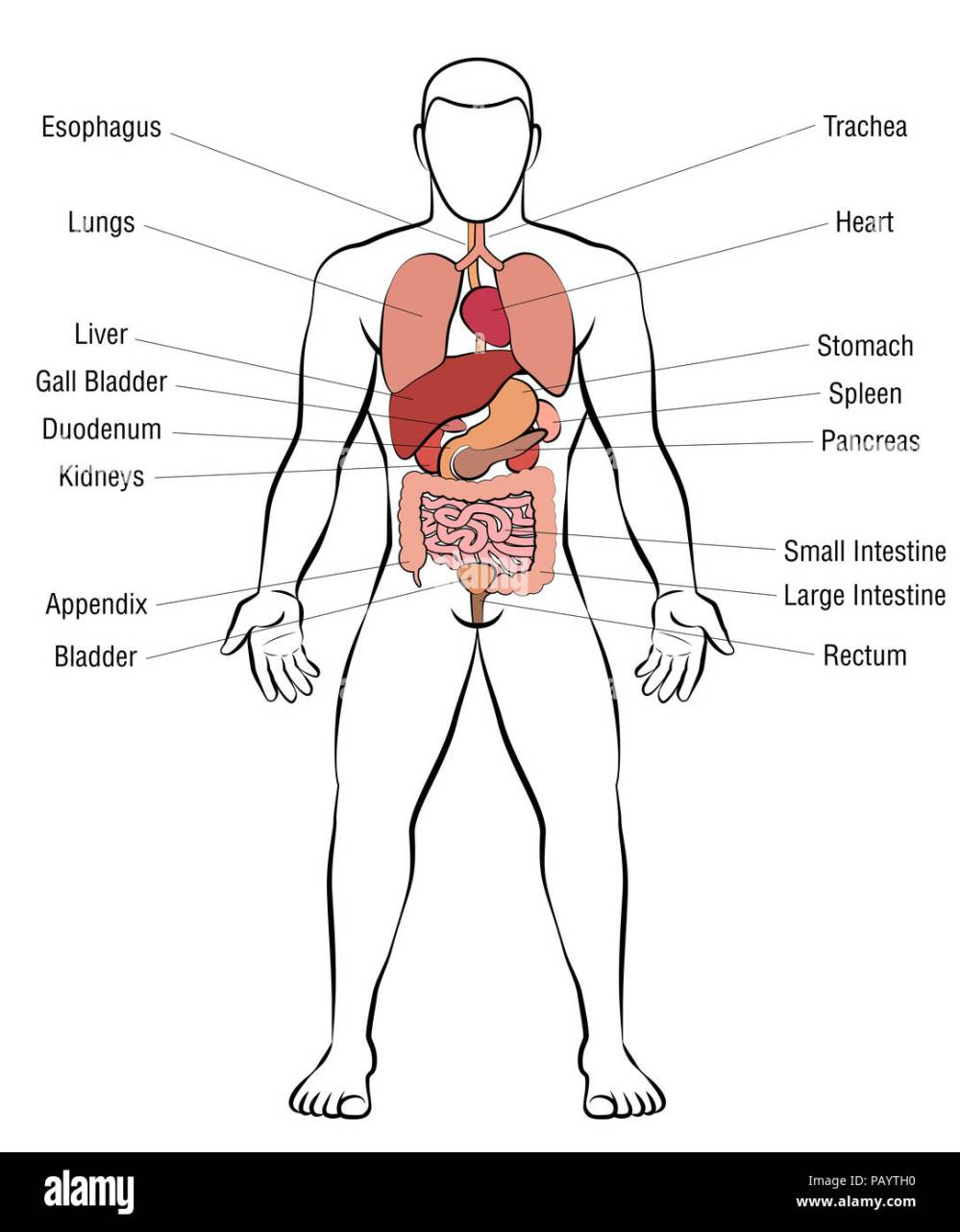 medium resolution of internal organs male body schematic human anatomy illustration on white background