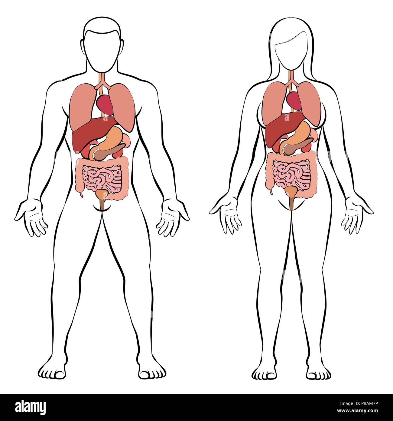 hight resolution of digestive tract with internal organs male and female body schematic human anatomy illustration on white background