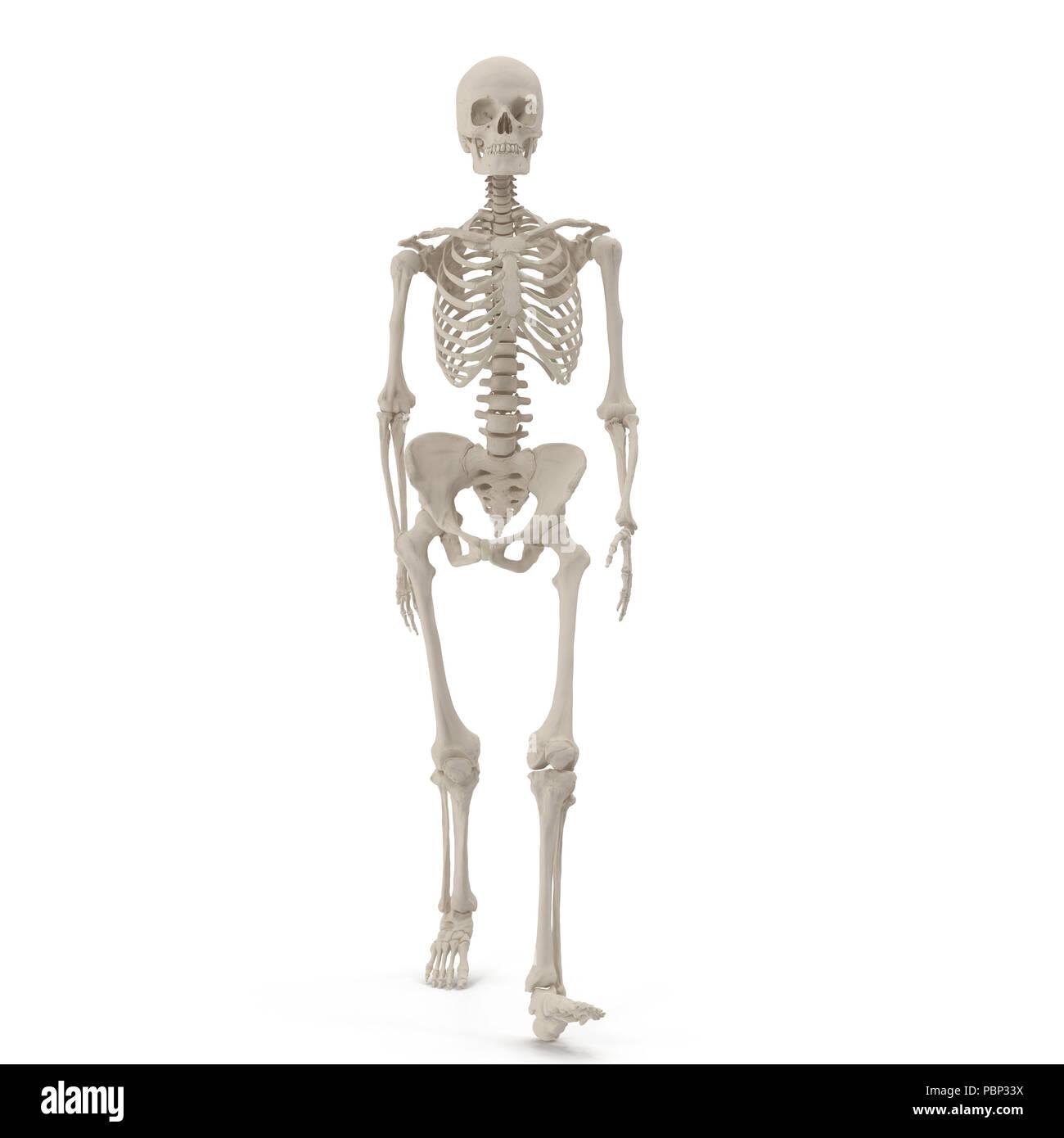 inside skull diagram carrier split system wiring walking stock photos human female skeleton pose on white 3d illustration image