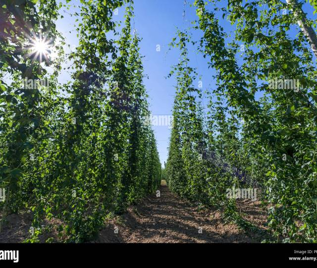 Common Hop Cultivation Humulus Lupulus With Sun In Backlight Franconia Bavaria Germany