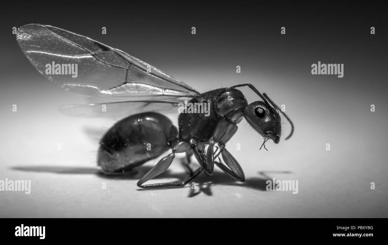 hight resolution of close up of a flying ant stock image
