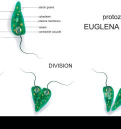 vector illustration of a euglena green protozoa stock image [ 1300 x 898 Pixel ]