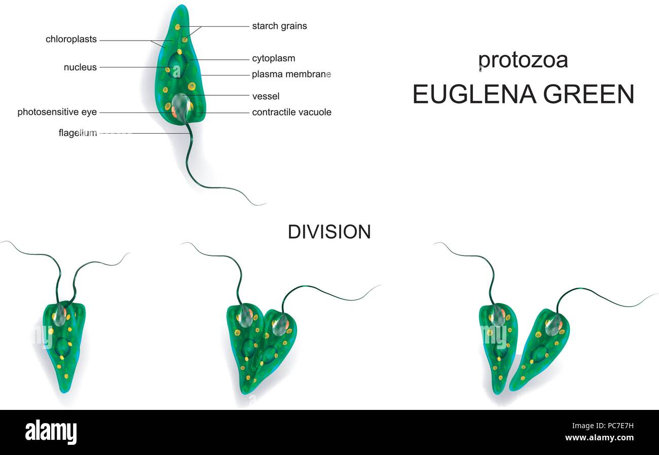 hight resolution of vector illustration of a euglena green protozoa stock image