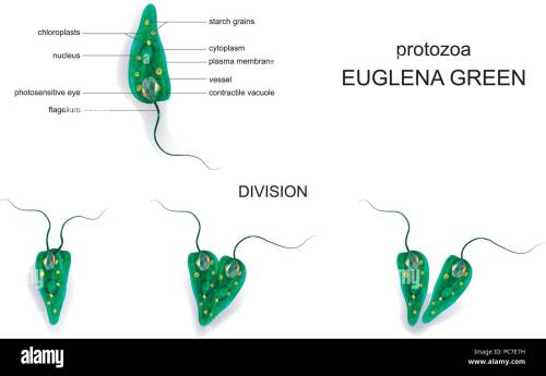 small resolution of vector illustration of a euglena green protozoa stock image