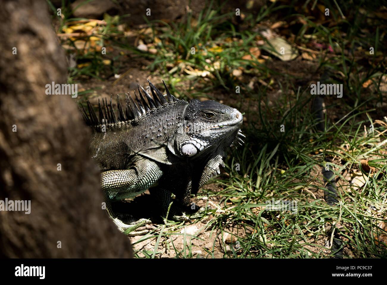 brown iguana lizard standing