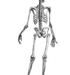 human skeleton seen from the back digital improved reproduction of an historical image from [ 866 x 1390 Pixel ]