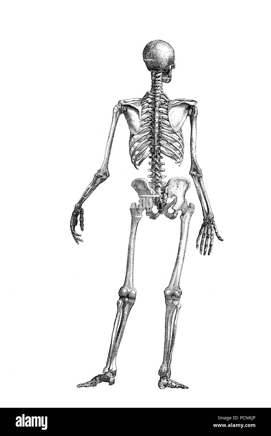 hight resolution of human skeleton seen from the back digital improved reproduction of an historical image from