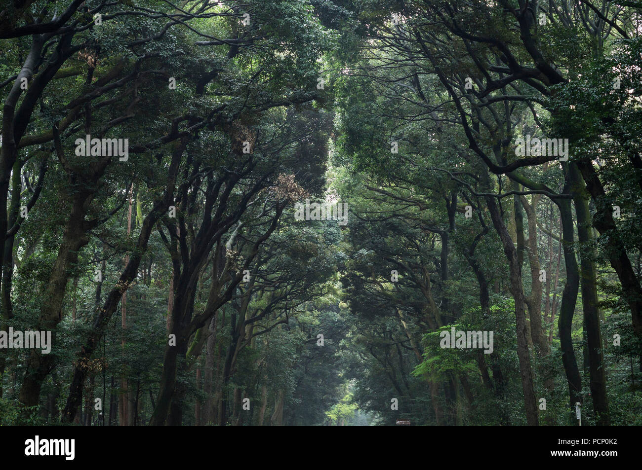 The best selection of royalty free dense forest vector art, graphics and stock illustrations. A Dense Forest In Japan Separated By A Path Stock Photo Alamy
