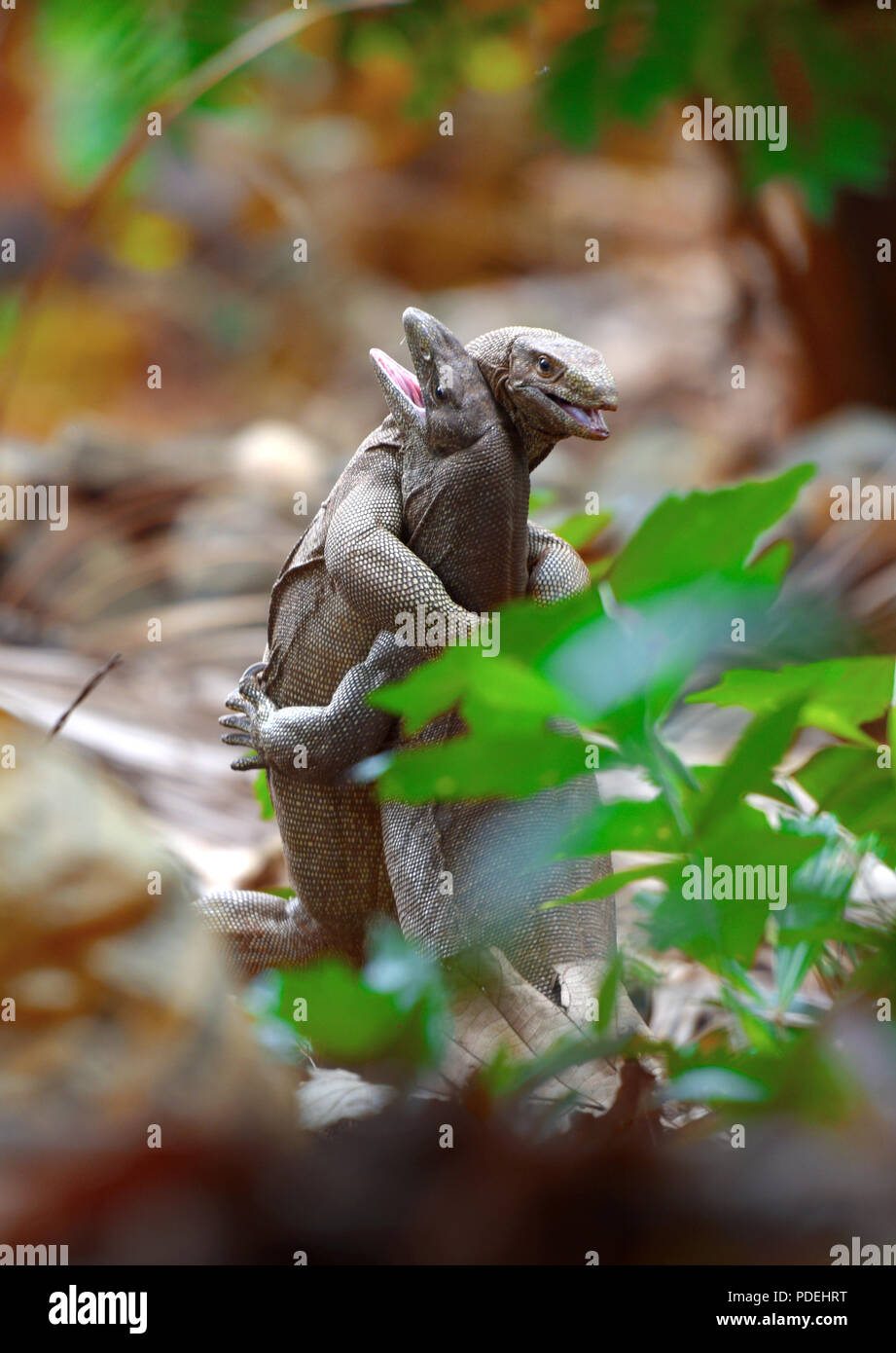two iguana animals in