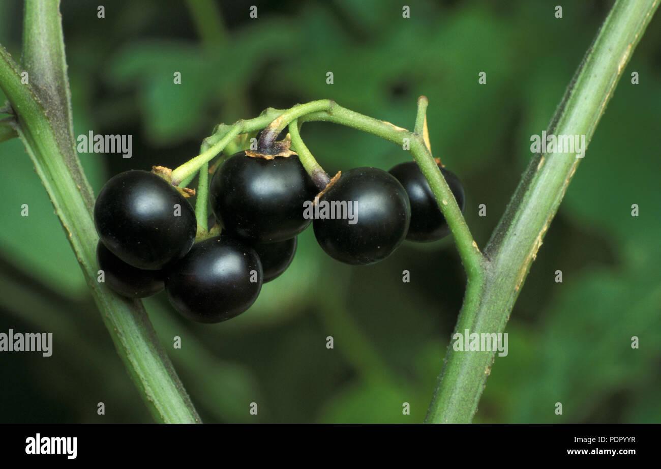 Garden Huckleberry Solanum X Burbankii Fruit On Bush Solanaceae Stock Photo Alamy