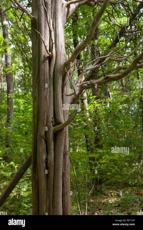 Bark Metasequoia Glyptostroboides Stock &