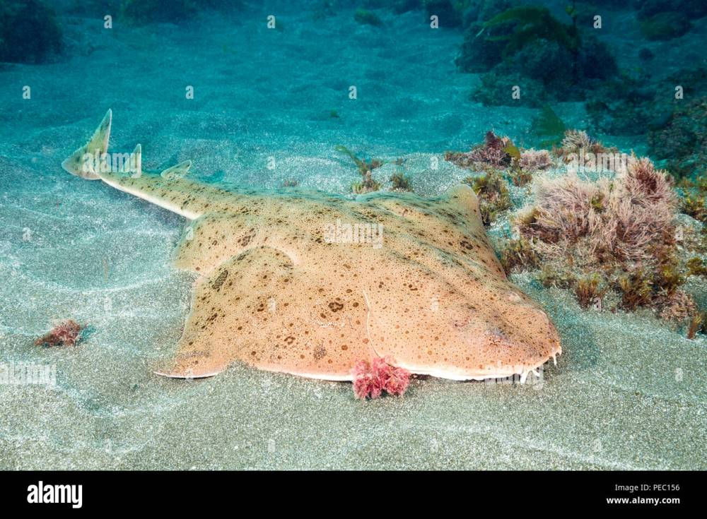 medium resolution of the pacific angel shark squatina californica with it s flat body and huge wing