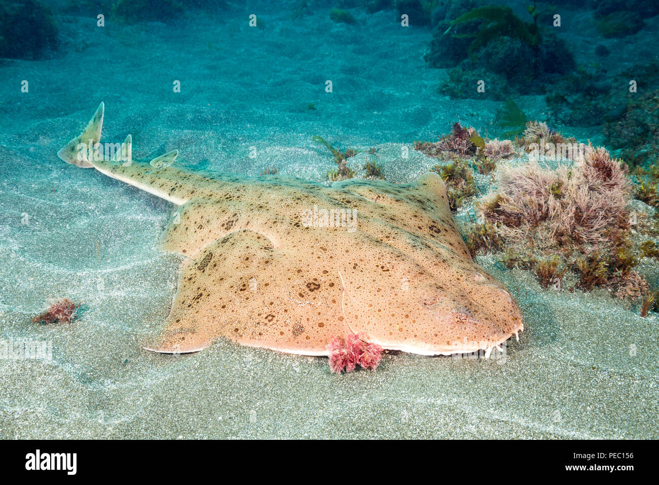 hight resolution of the pacific angel shark squatina californica with it s flat body and huge wing