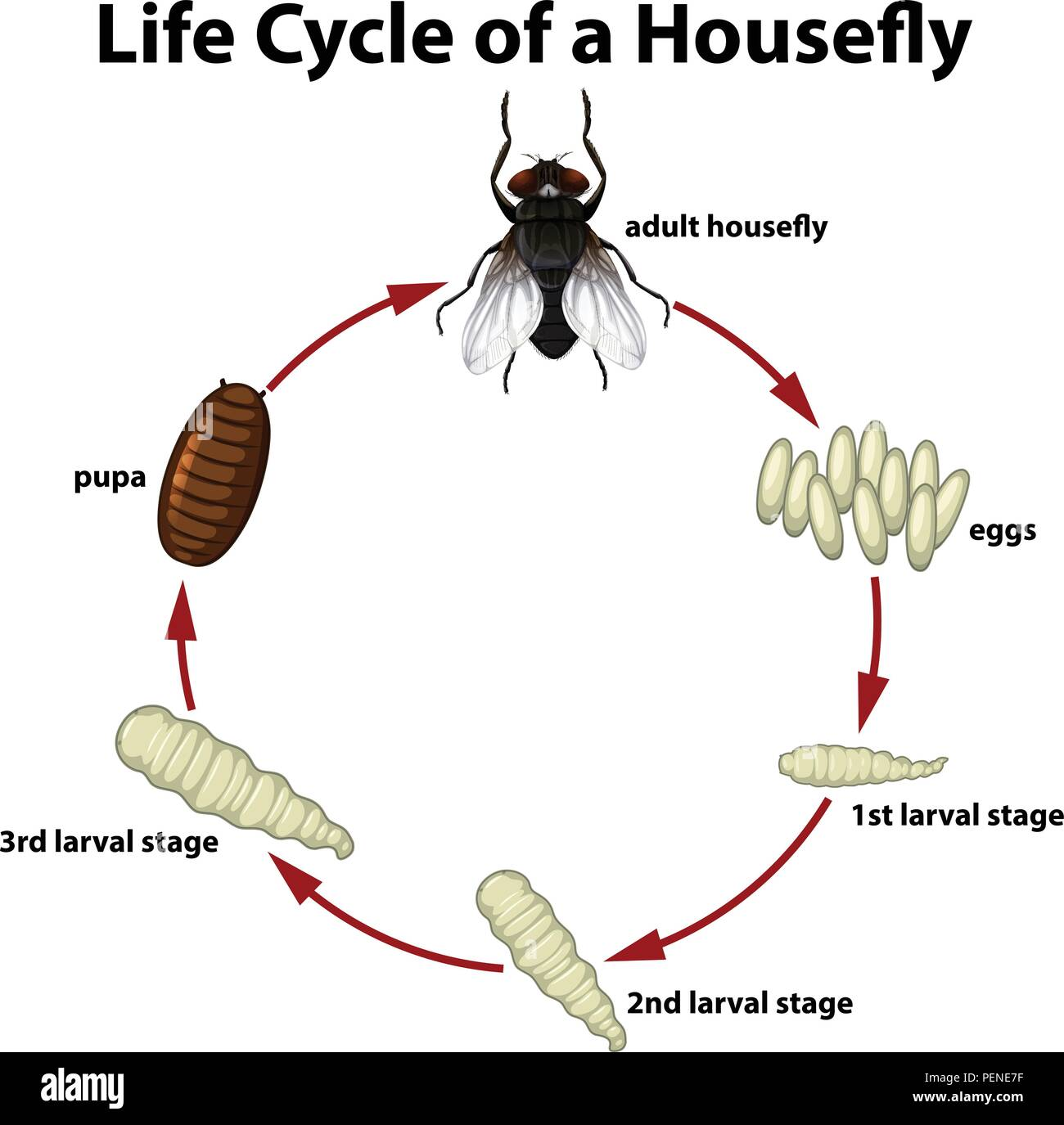 hight resolution of life circle of a housefly illustration