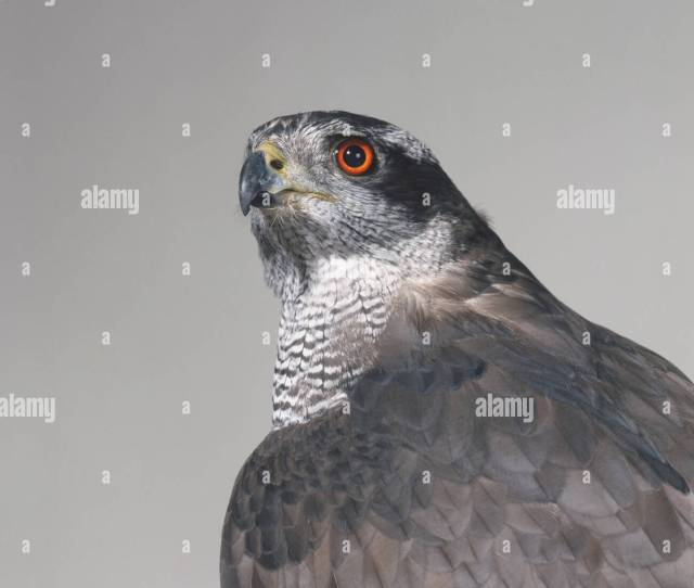 Head And Shoulders A Goshawk Accipiter Gentilis Showing Red Eyes And Curved Beak
