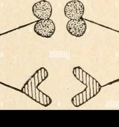 diagram of the principal stages of meiosis by parasyndesis two pairs of homologous chromosomes are shown the members of one  [ 1300 x 663 Pixel ]